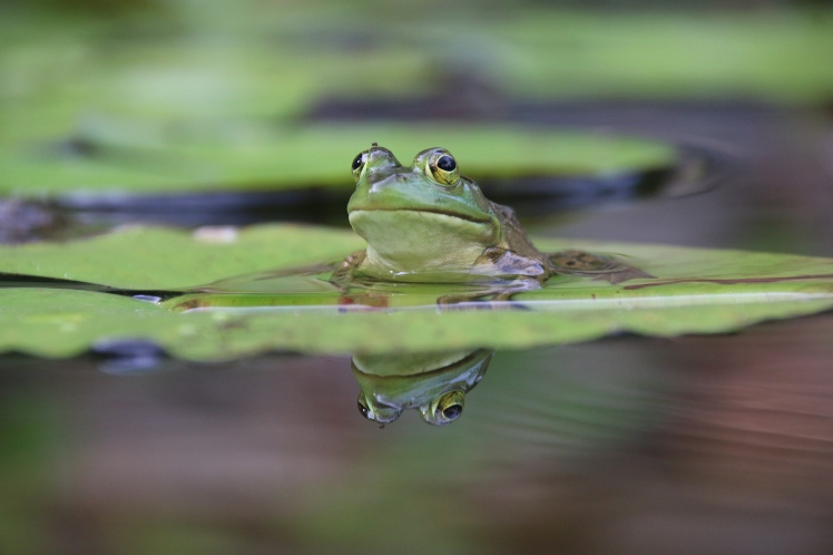 Frog on water lily leaf